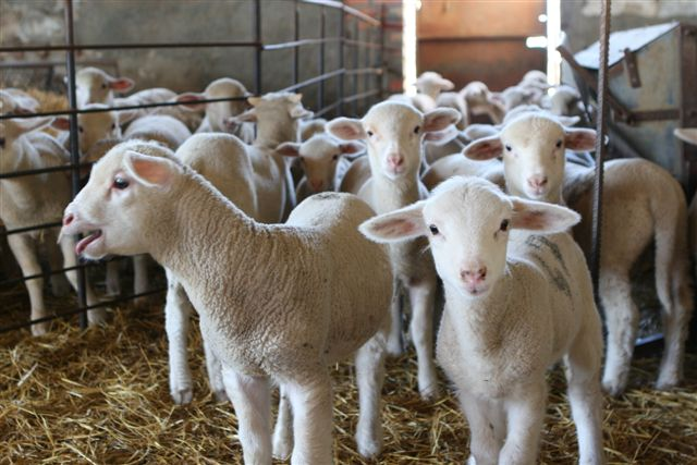 Associated Aids For Sheep And Goat Farms