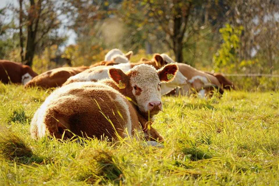 Beef Production Falls By 5% During The First 5 Months Of 2020 In The EU