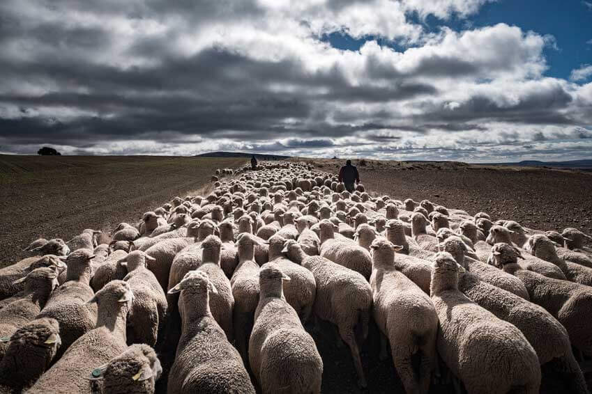 Desarrollo Rural De Navarra Launches A Special Aid Line Of 3 Euros Per Sheep For The Sheep And Goat Sector