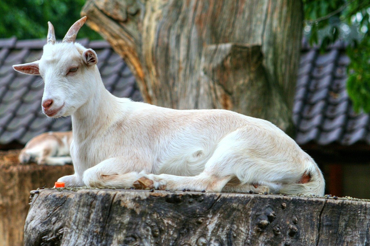 GoaTBFree, A Project To Eradicate Goat Tuberculosis, Is Launched