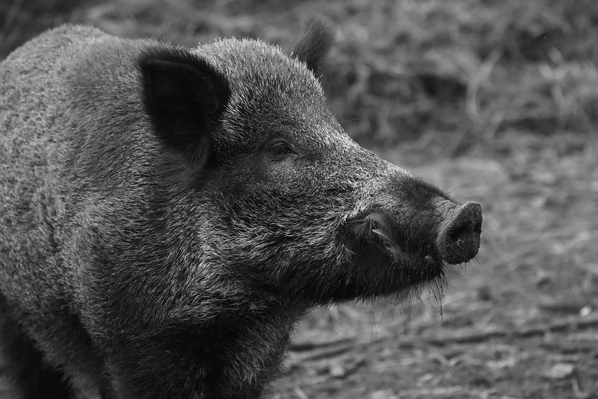 More Confirmed ASF Cases In Wild Boar In Germany: Compensation Will Be Paid For Finding Dead Animals
