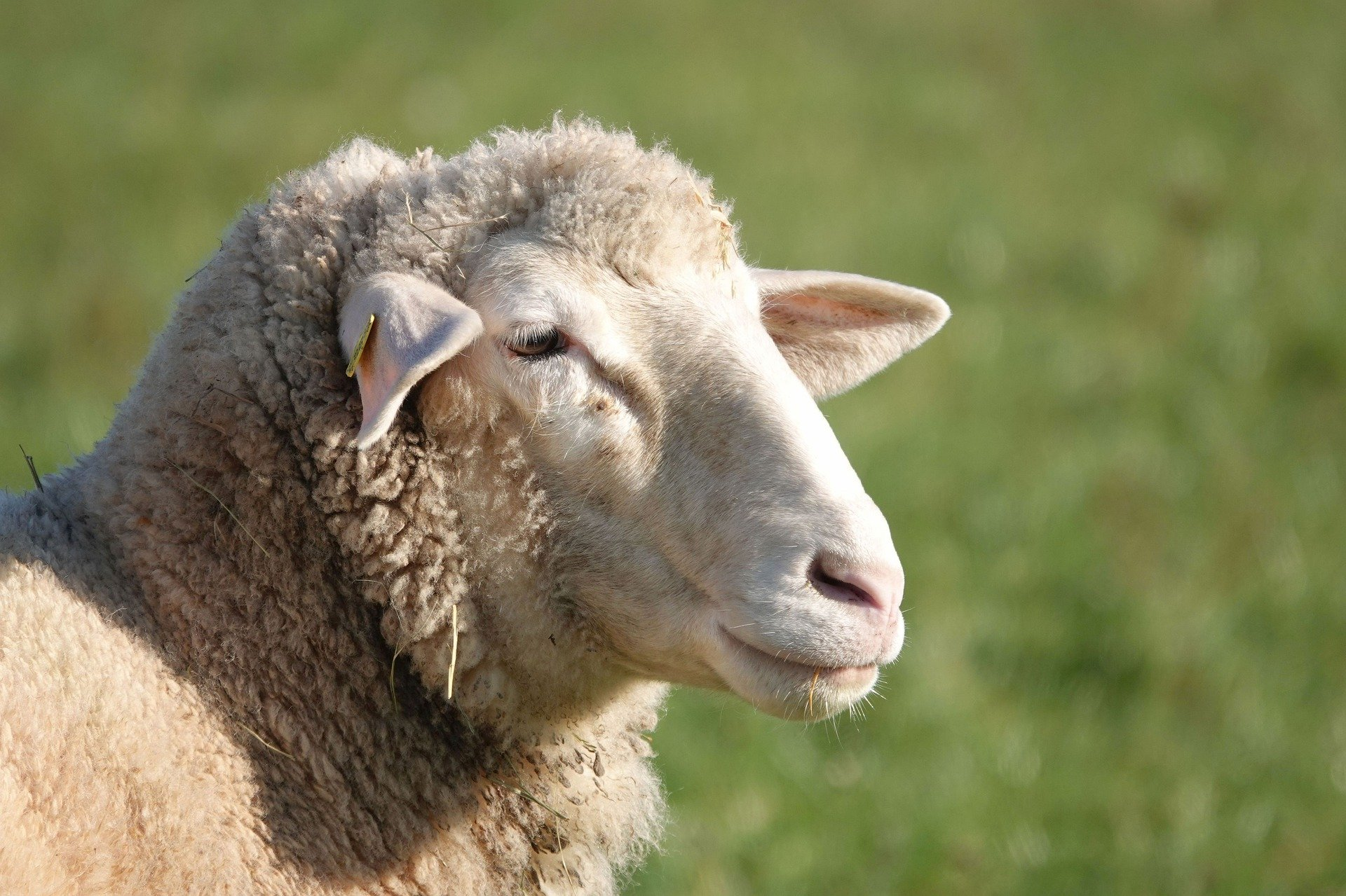 The EU Expects Sheep Consumption To Decline By 1.6% In 202