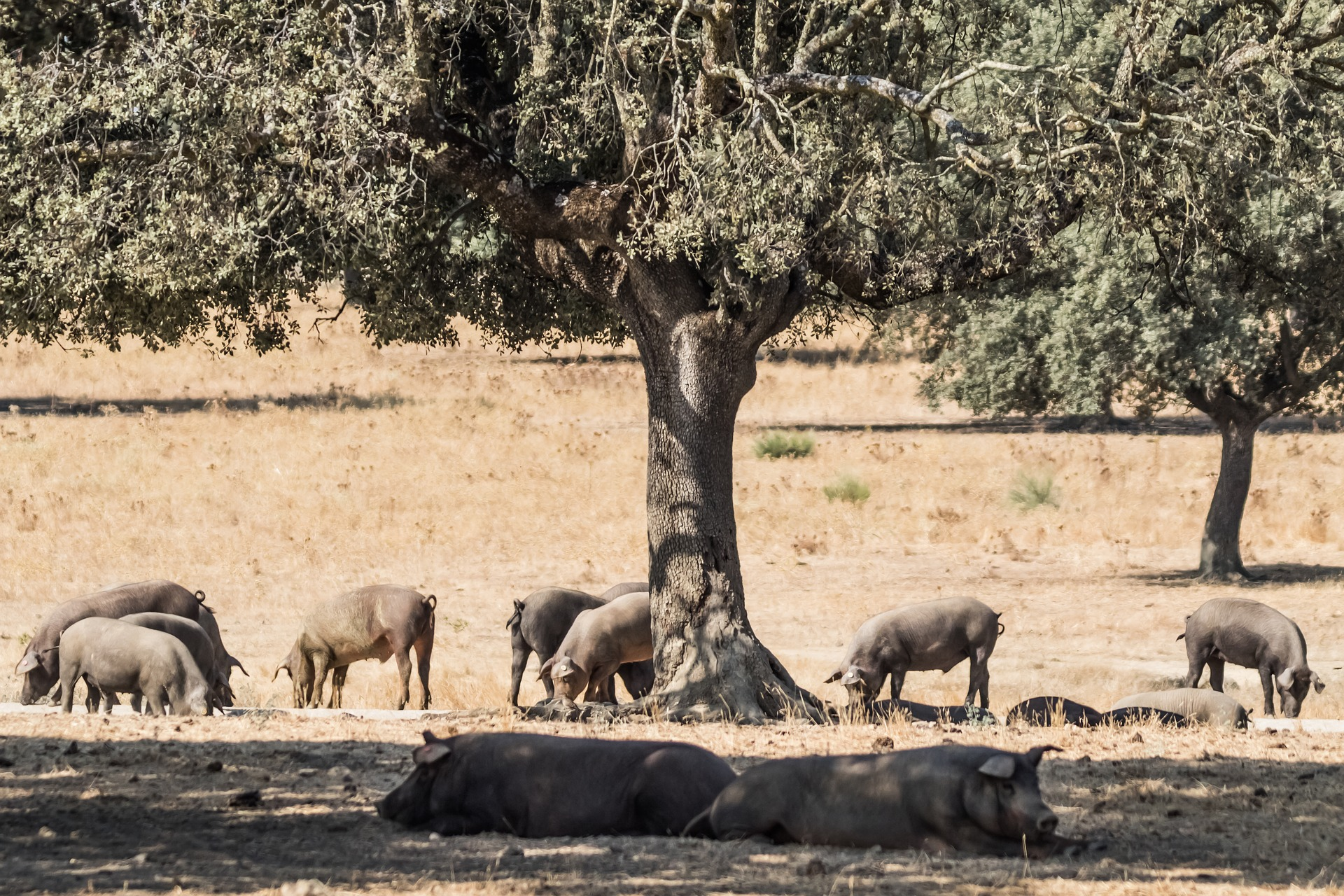 "Aid For The Iberian Pig Sector In Extremadura, ""very Deficient"" And A ""marketing"" Operation"