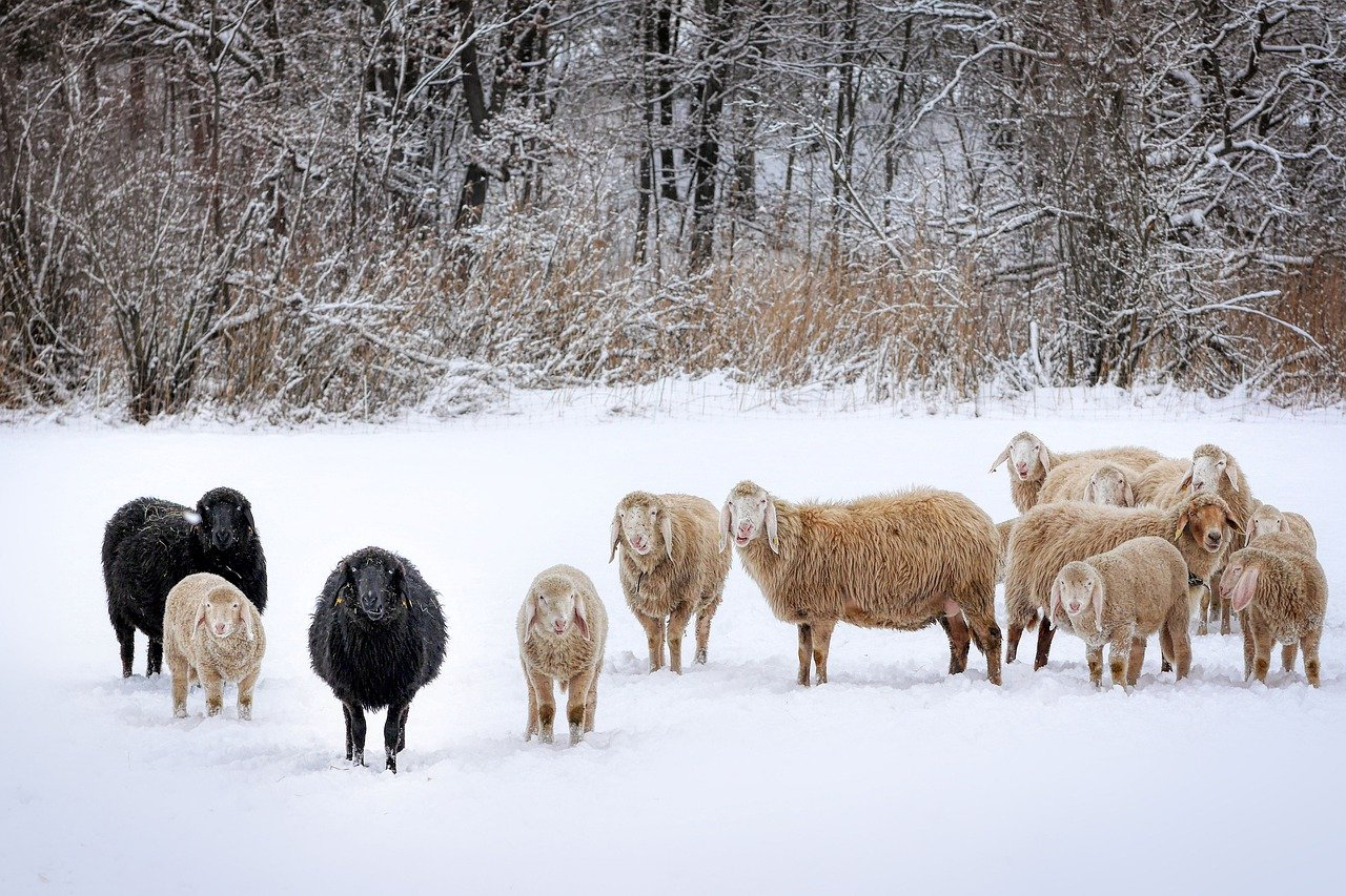 "Castilla-La Mancha Warns Of The ""serious"" Consequences Of The Snow And Cold Storm For Extensive Livestock"